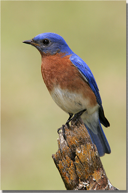 Male Eastern Bluebird