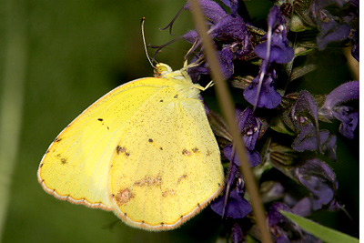 Beautiful Yellow Butterflies Pictures, Beautiful Yellow Butterflies
