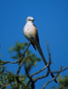 Scissor-tailed Flycatcher in a tree
