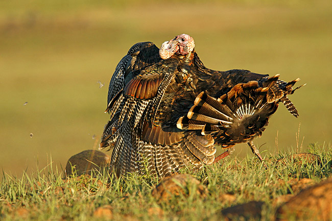 two young male wild turkeys fighting